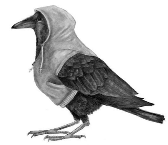 Hoodied Crow